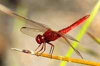Dragonfly (Sympetrum sp.)