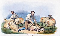 Vignette from a coloured lithographic plate showing men shearing sheep with handshears from ´Graphic Illustrations of Animals - Showing Their Utility ...