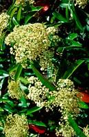 Photinia (Photinia serrulata)