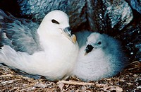 Northen Fulmar (Fulmarus glacialis) with young