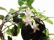 Bridal Wreath, Madagascar Jasmine (Stephanotis floribunda)