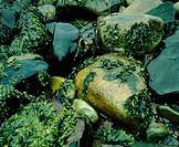 Seaweeds. Arctic. Laponia
