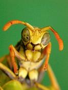 wasp(Polistes bischoffi)