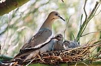 White-winged Dove (Zenaida asiatica) in nest with young. Sonoran Desert. Arizona. USA