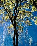 Oak tree in Yosemite Valley. Yosemite National Park. California. USA