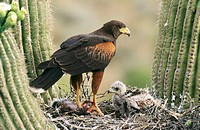 Harris´s Hawk (Parabuteo unicinctus). Sonoran Desert. Arizona. USA