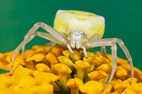 Crab Spider (Thomisus onustus)