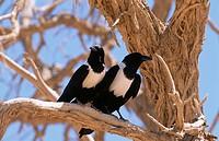 Pied crow (Corvus albus). Namibia