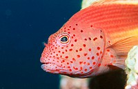 Forster's Hawkfish (Paracirrhites forsteri). Indonesia