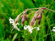 Nottingham catchfly (Silene nutans) in moist and fresh meadows
