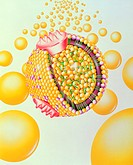 Low-density cholesterol lipoprotein. Illustration of the structure of a low-density lipoprotein (LDL) particle, a form of cholesterol found in the blo...
