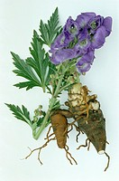 ´Monkshood.  The common  monkshood    or    aconite (Aconitum  napellus)  is a medicinal plant that is used as a sedative or as a painkiller (analgesi...