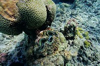 ´Giant clam (Tridacna sp.).  This  is  the  largest living  bivalve  mollusc,   the  shells  of mature individuals reaching 1.5 metres in  length.    ...