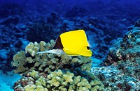 ´Longnose butterfly fish  (Forcipiger  flavissimus) on  a coral reef.  This fish can reach a length of around 25 centimetres.  It inhabits  the  tropi...