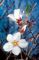 Almond tree flowers (Prunus amygdalus)