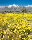 Desert Dandelion (Malacothrix glabrata) and Mount Williamson in Owens Valley. Manzanar National Historic Site. Sierra Nevada Mountain Range. Californi...