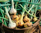 Home grown organic onions