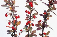 Common Barberry (Berberis vulgaris)