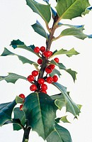 Holly (Ilex aquifolium)