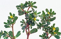 Common Purslane (Portulaca oleracea)