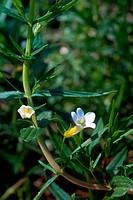 GRATIOLA MEDICINAL PLANT<BR>Gratiola officinalis. Family: Scrophulariaceae.