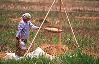 Winnowing padi in the field, Kedah, Malaysia