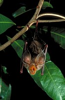 Large-eared horseshoe bats (Rhinolophus philippinensis) are an endangered species with large ornate facial skin folds. They roost in caves and old min...