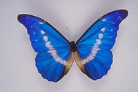 Top view of male Morpho Butterfly (Morpho helena) from Peru.