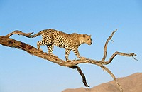 Leopard (Panthera pardus) on a tree in Namib Desert