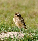 Juvenile burrowing owl (Speotyto cunicularia) awaiting parent's return. Southern Florida, USA