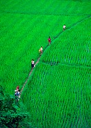 People walking through rice paddies