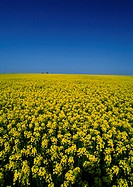 France, Normandy, field of rapeseed