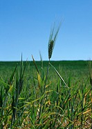 France, Picardy, green wheat in field