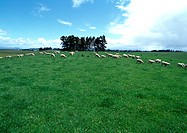 New Zealand, sheep grazing in field