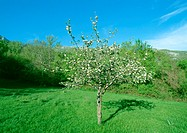 Fruit tree in bloom in grassy clearing