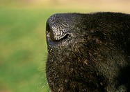 Black dog's nose side view, close-up