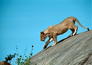 Africa, Tanzania, lioness on rock
