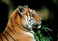 India, tiger, side view
