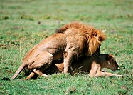 Africa, Tanzania, lions coupling