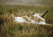Africa, Tanzania, lion cub sitting on lioness' abdomen