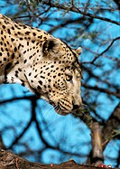 Africa, Namibia, leopard, focus on head