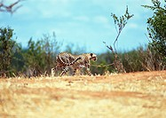 Africa, Tanzania, cheetah in Savannah