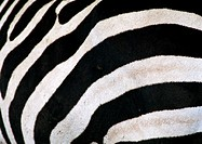 Africa, Tanzania, zebra, close-up