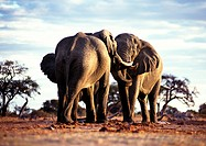 Africa, Botswana, two elephants face to face