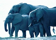 Africa, Botswana, elephants standing in water, side view