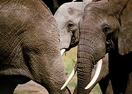 Africa, Tanzania, elephants, close-up