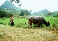 China, Guangxi Autonomous Region, Guilin, man standing behind cow grazing grass