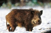 Young Wild Boar (Sus scrofa). Germany