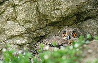 Young Eagle Owl (Bubo bubo). Germany