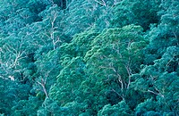 Gum trees in rainforest. Blue Mountains National Park. New South Wales. Australia